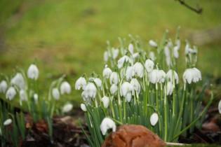 Snowdrops 9th February 2011