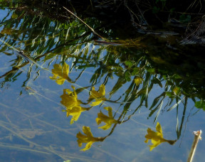 Reflections of Daffodils