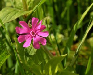 Pink Campion