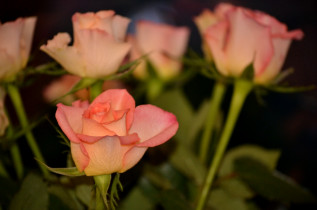 Roses (again)